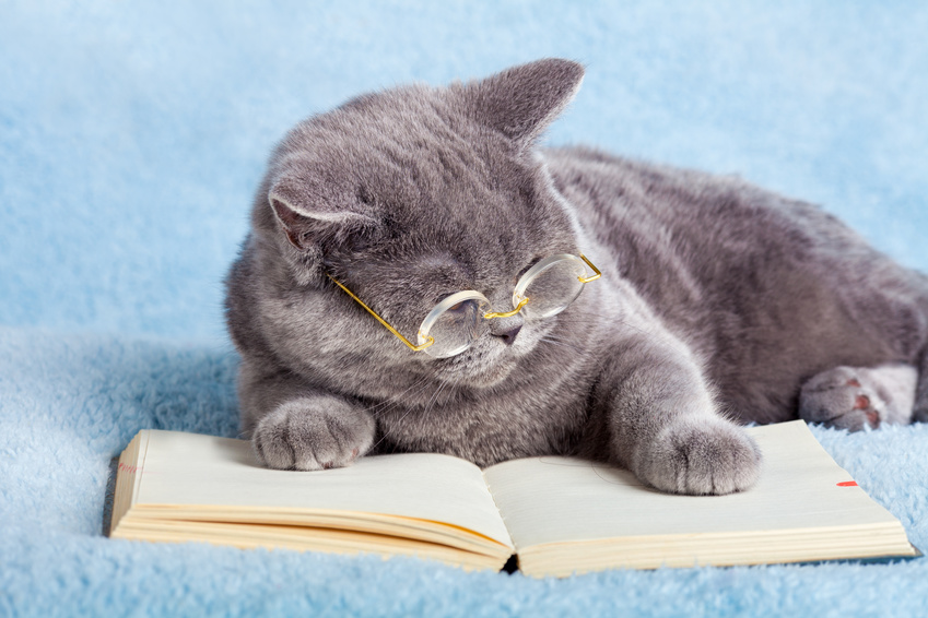 Blue british business cat is wearing glasses reading notebook
